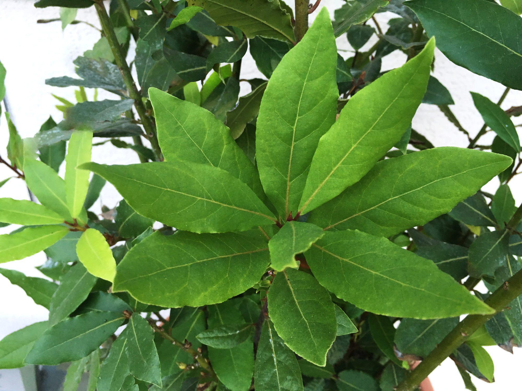 BOBKOVÝ LIST - Laurus nobilis - vavrínový list