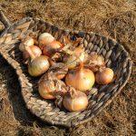 CIBUĽA KUCHYNSKÁ - Allium cepa